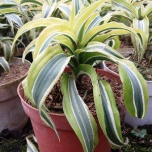 33.-dracaena-lemon-lime