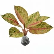 Tanaman Aglaonema Moonlight