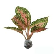 Tanaman Aglaonema Pink Beauty