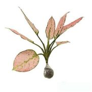 Tanaman Aglaonema Pink Delight