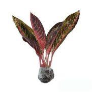 Tanaman Aglaonema Pride of Sumatra