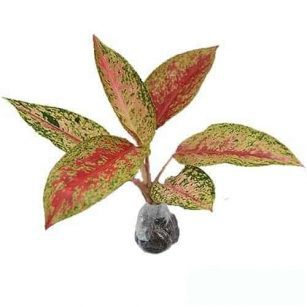 Tanaman Aglaonema Red Impresa