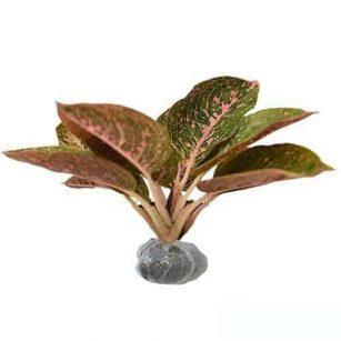 Tanaman Aglaonema Red Metallic