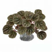Tanaman Begonia Childhood