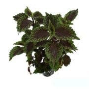 Tanaman Coleus Chocolate Mint