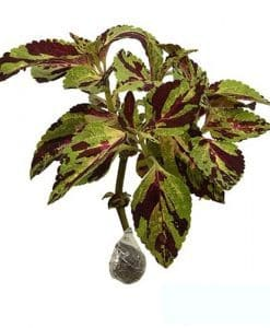 Tanaman Coleus Military Green