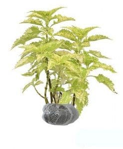 Tanaman Coleus Yellow Green
