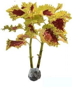 Tanaman Coleus Yellow Ruffled