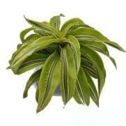 Tanaman Dracaena Green Lime