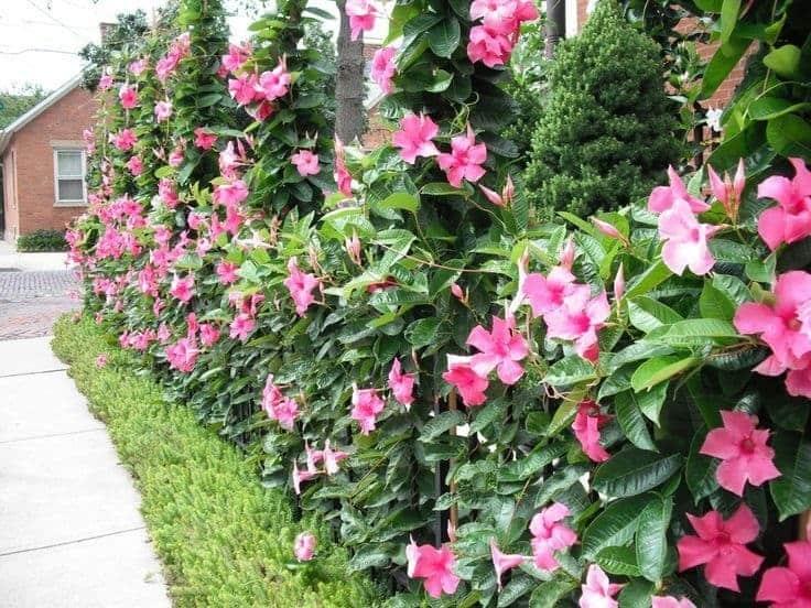 tanaman merambat mandevilla pink