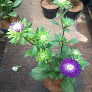 Jual Benih Bibit Tanaman Bunga Aster Murah Lengkap Bibit Online