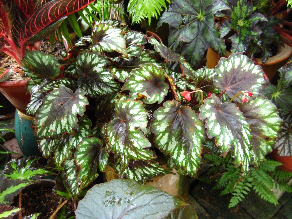 Jenis Dan Tips Merawat Tanaman Hias Begonia Bibit Online
