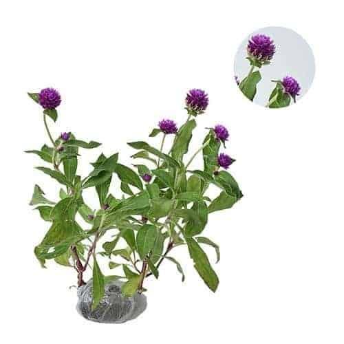 Jual Tanaman Bunga Kancing Bibit Online