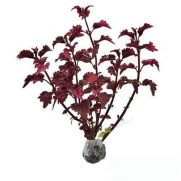 Tanaman Coleus Red Burgundy