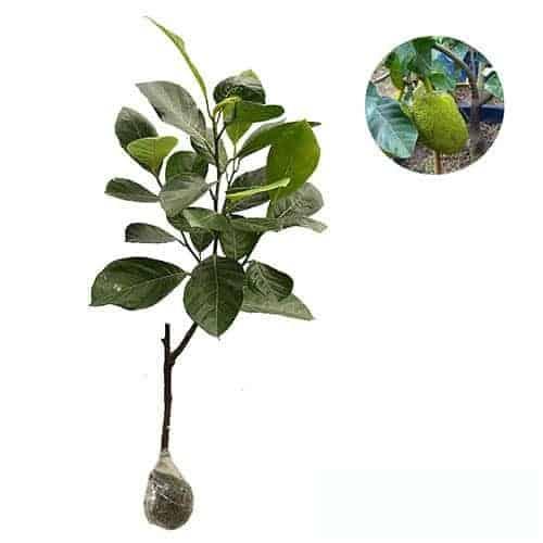 Jual Tanaman Nangka Mini Dwarf Jackfruit Bibit Online