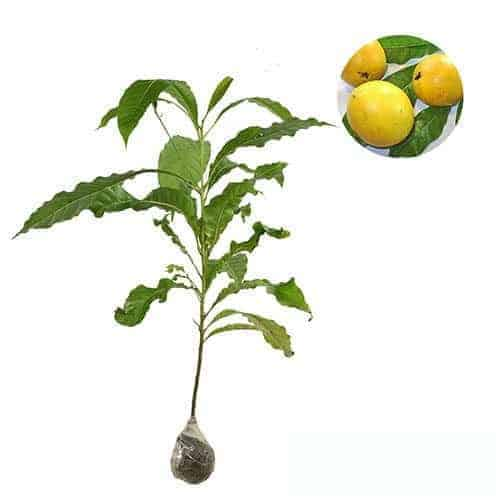 Bibit Jeruk Santang Citrus sp Berkualitas Import Tinggi 70 CM Source · Tanaman Sawo Australia Abiu